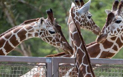 Giraffen-Familie in Hellabrunn