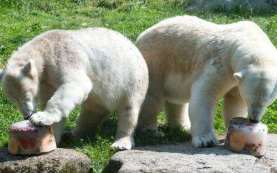 Die Eisbären-Damen Giovanna und Quintana essen eine Eistorte im Tierpark Hellabrunn