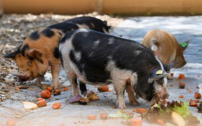 Kunekune Schweine im Tierpark Hellabrunn