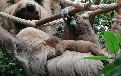 Neues Faultier-Baby im Tierpark Hellabrunn
