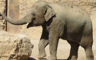Elefant Ludwig im Heidelberger Zoo