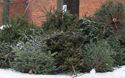 Entsorgte Weihnachtsbäume