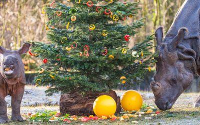 Weihnachten bei den Nashörnern in Hellabrunn.