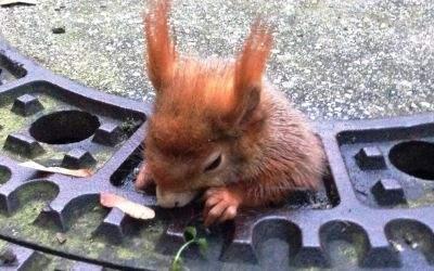 Eichhörnchen steckt in Kanaldeckel fest.