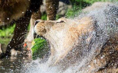 Löwe frisst Melone im Tierpark Hellabrunn