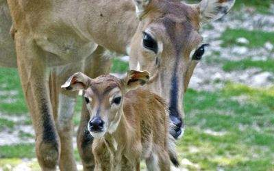 Nilgau-Antilopen in Hellabrunn
