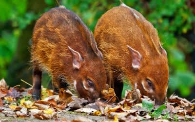 Pinselohrschwein-Babys