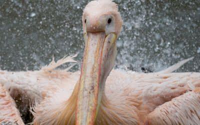 Ein Rosapelikan planscht im Tierpark Hagenbeck in seinem Gehege.