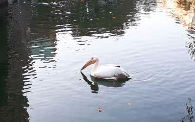 Der in der Isar gesichtete Pelikan