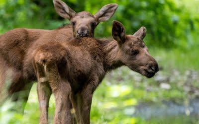 Tierpark Hellabrunn, Elch, Nachwuchs, Zwillinge