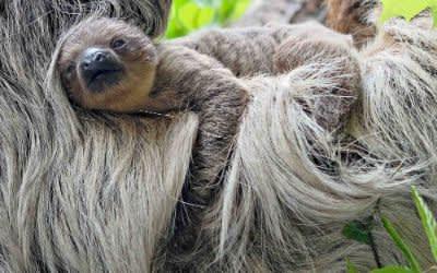 Neuer Nachwuchs im Tierpark Hellabrunn, Faultier Baby
