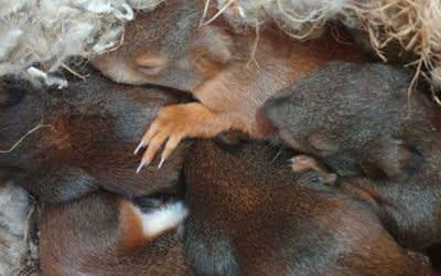 Eichhörnchen in einem Nest