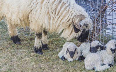 Schafe im Werk3