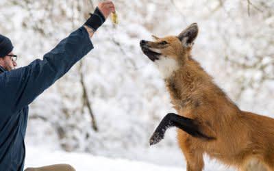 Mähnenwolf bei der Inventur