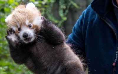 Erstuntersuchung beim Roten Panda Baby im Tierpark Hellabrunn