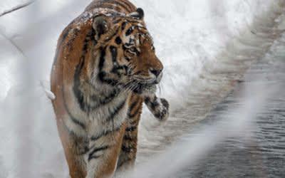 Hellabrunn: Tiger genießt den Schnee