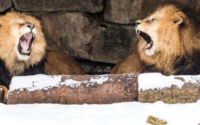 Löwen im Tierpark Hellabrunn im Winter