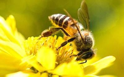 Biene auf Blüte in Nahaufnahme