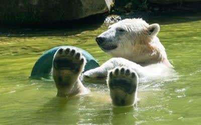 Eisbärin Quintana im Tierpark Hellabrunn