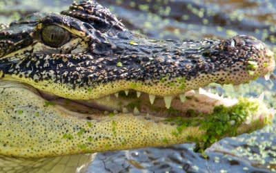 Ein Krokodil in der Repitlienauffangstation