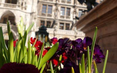 Blumen in der Frühlingssonne vor dem Rathaus am Marienplatz