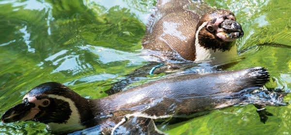 Die Humboldtpinguine trotzen der Hitze im Tierpark Hellabrunn