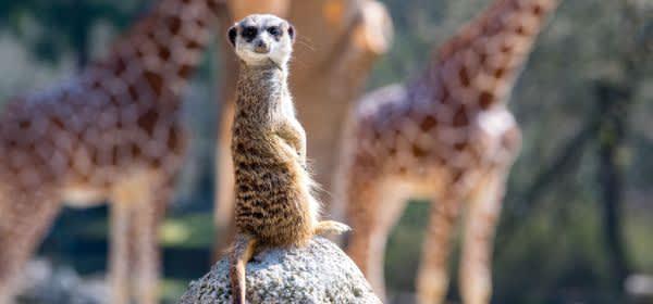 Erdmännchen und Giraffen im Tierpark Hellabrunn