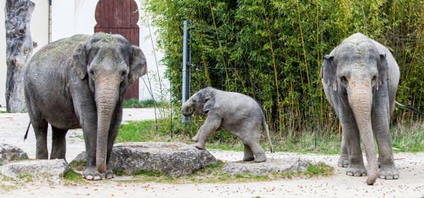Elefanten im Tierpark Hellabrunn