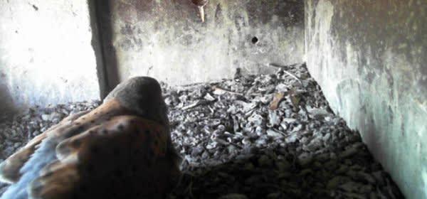Screenshot der Turmfalken-Webcam 2021