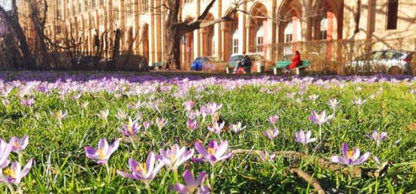 Maximilianstraße mit Frühlingsblumen