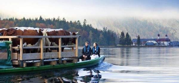 Almauftrieb am Königssee