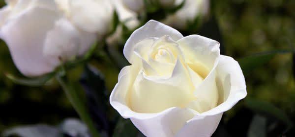 Nahaufnahme weiße Rose