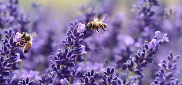 stadtbienen, honig, polizeibienen, blüten