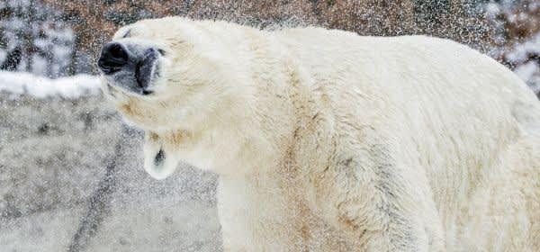 Winter im Tierpark 2017: ein Eisbär tollt im Schnee umher