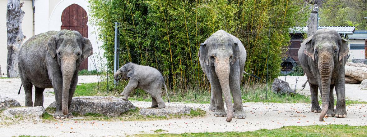Elefantengruppe im Tierpark Hellabrunn mit Elefantenkind Otto