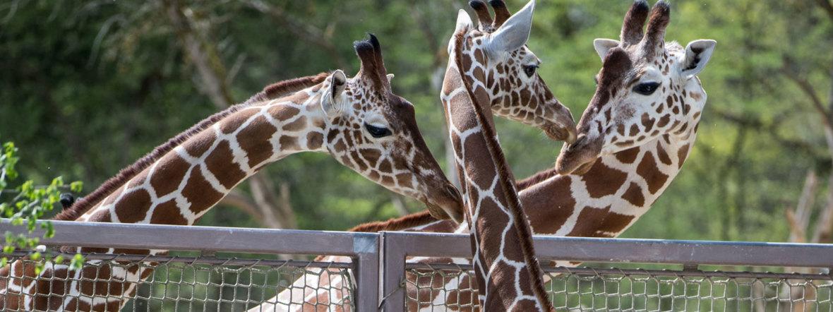 Giraffen-Familie in Hellabrunn, Foto: Tierpark Hellabrunn / Marc Müller
