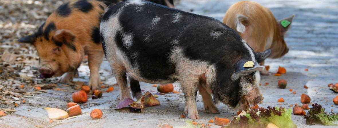 Kunekune Schweine im Tierpark Hellabrunn, Foto: Tierpark Hellabrunn / Jörg Koch