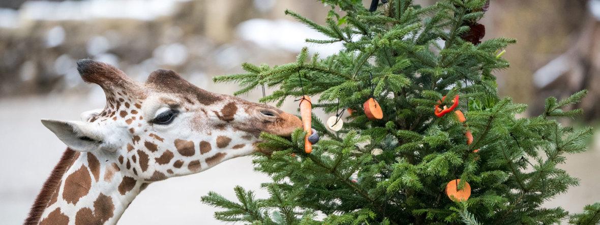 Bilder Weihnachten Tiere.Hellabrunn So Feiern Die Tiere Weihnachten Das Offizielle