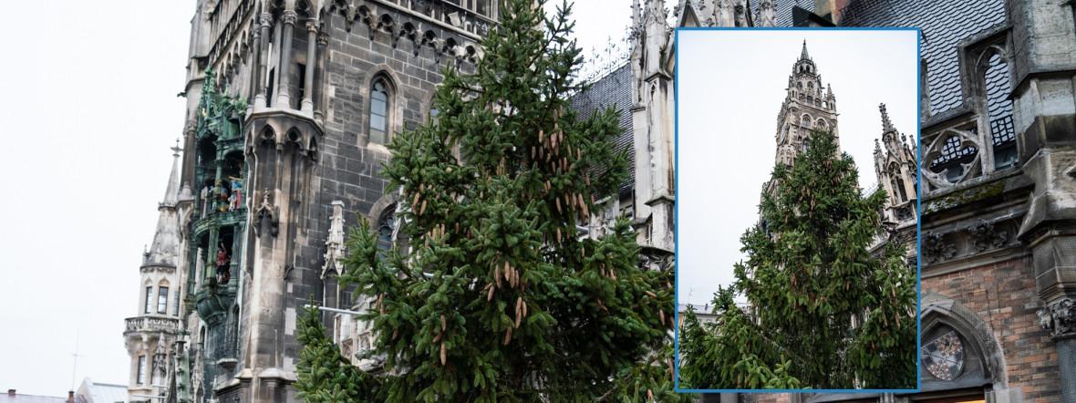 Der neue Christbaum am Marienplatz 2019, Foto: muenchen.de / Rico Güttich