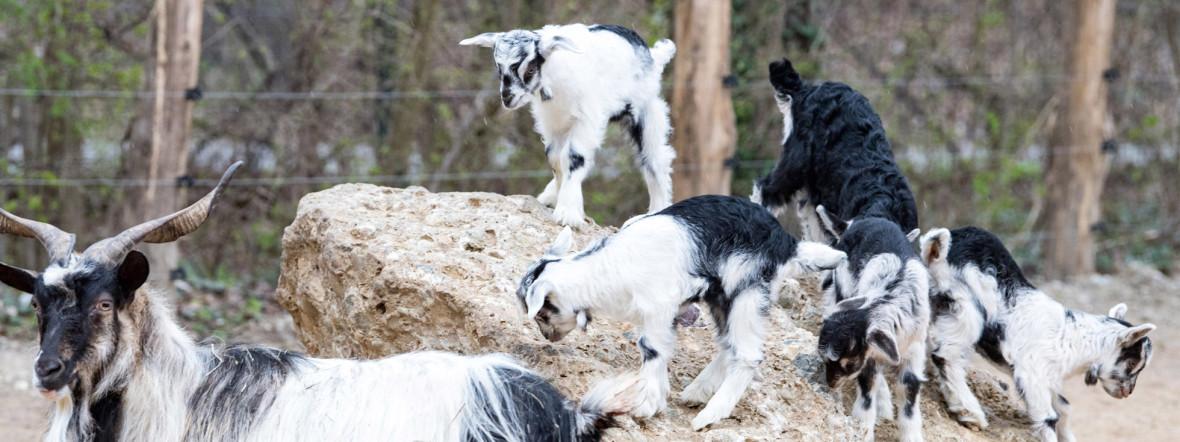 Nachwuchs der Bulgarenziege in Hellabrunn, Foto: Tierpark Hellabrunn / Marc Müller
