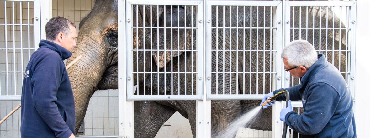 Tierpfleger Andreas Fries spritzt Temi mit dem Wasserschlauch ab., Foto: Tierpark Hellabrunn / Marc Müller