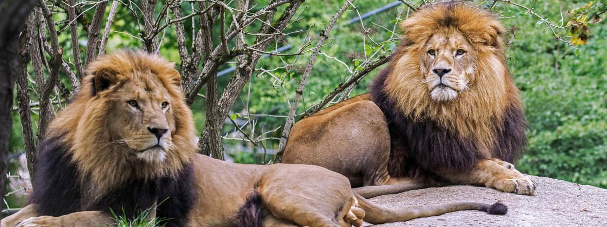 Löwen in Hellabrunn, Foto: Maria Fencik