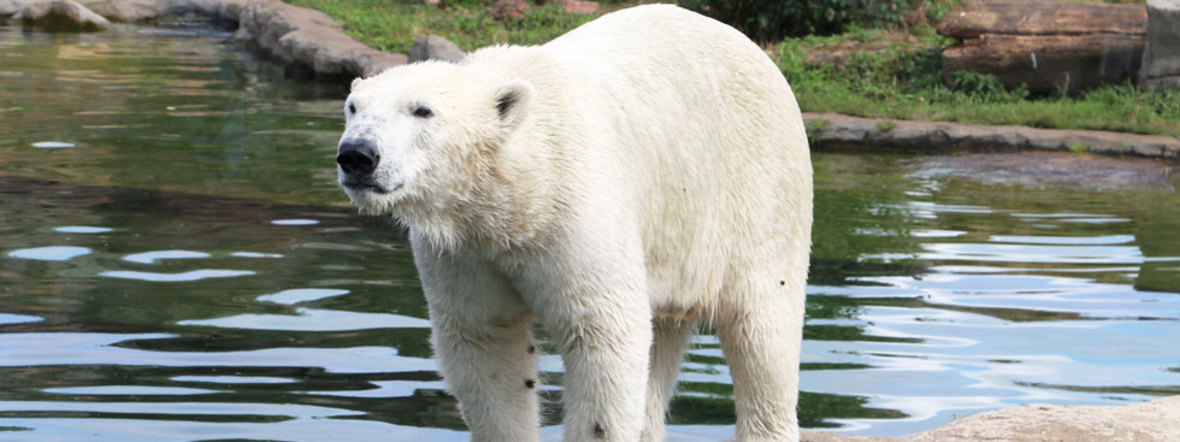 Die neue Eisbärin Nanook im Tierpark Hellabrunn, Foto: ZOOM Erlebniswelt