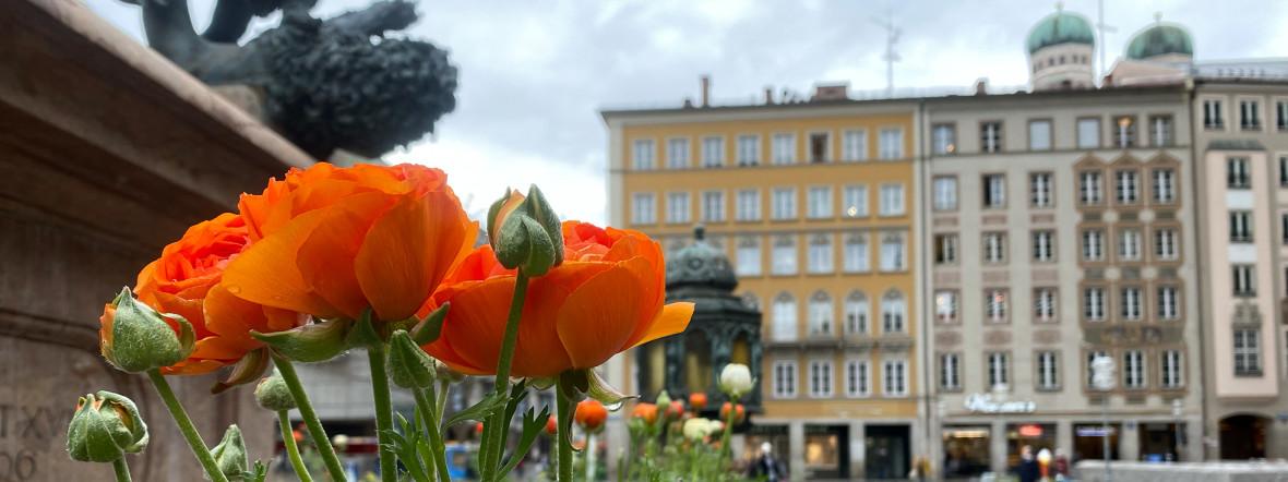 Frühjahrsblumen auf dem Münchner Marienplatz, Foto: Anette Göttlicher