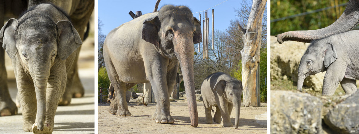 Elefant Otto im Frühling, Foto: Tierpark Hellabrunn/Navin Adami
