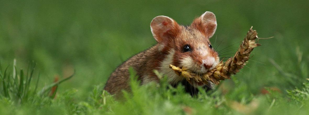 Hamster in Wiese